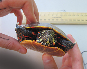 Turtles are caught and released after blood samples are taken and analyzed for health, diet, toxins and genetics.